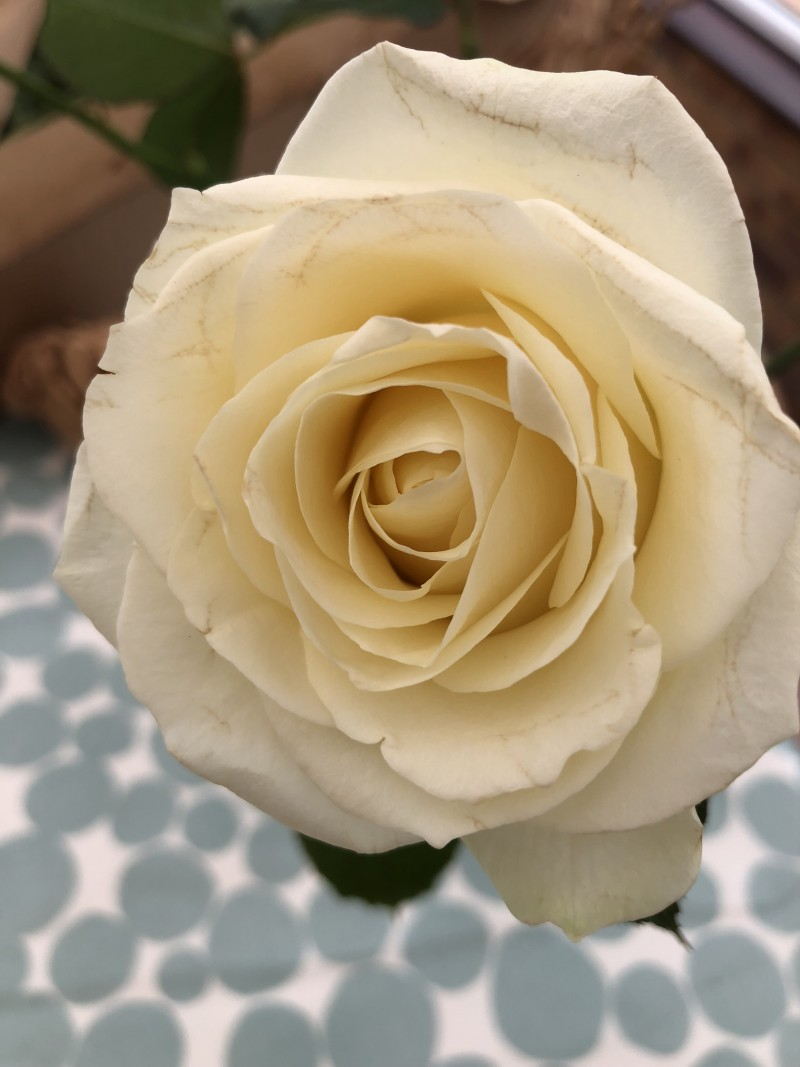 Review Freddie's Flowers Subscription + Discount Code flowers in bloom white rose